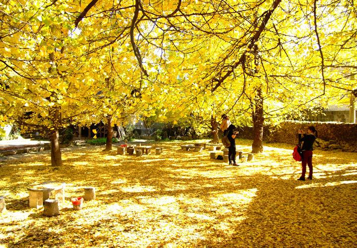 每年11月中下旬,银杏村3000多棵银杏树,金黄一片,石板路,民居穿插其中