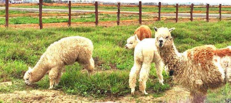 宝苞农场体验春耕&看羊驼