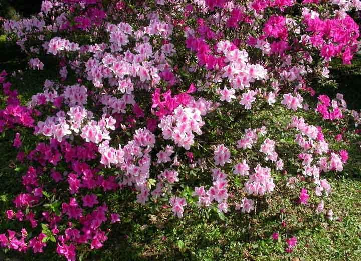 梧桐山风景区里的杜鹃花3月底起已进入盛花期