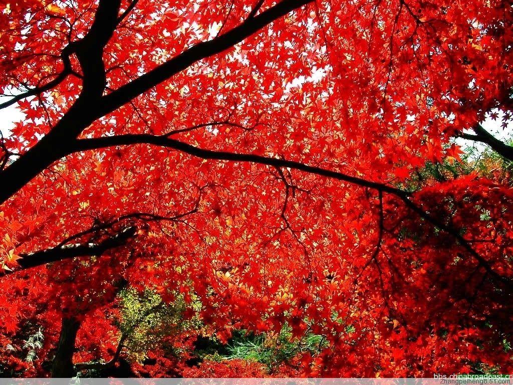 香山红叶以叶形如卵的黄栌最负盛名.