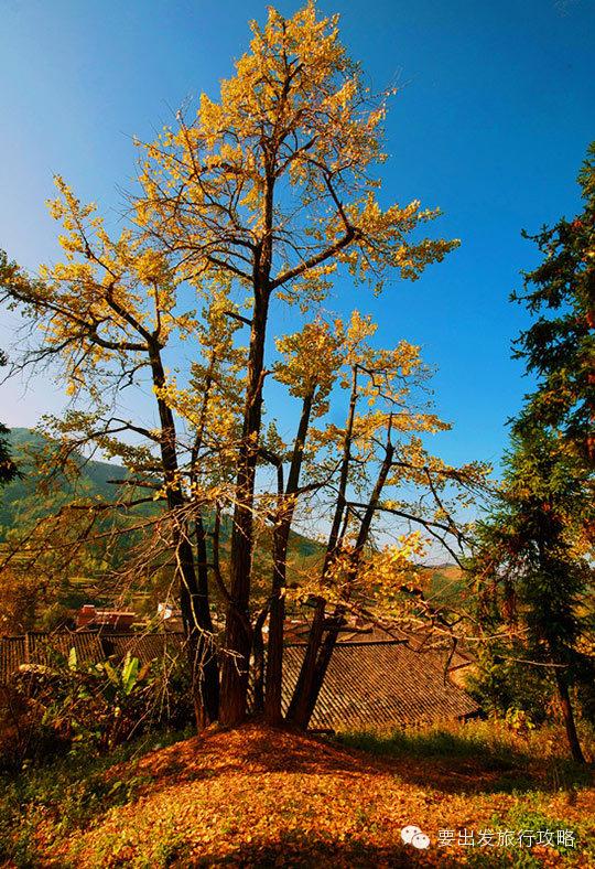油山,主田,帽子峰等18个乡镇,坪田,油山的银杏多为老树,以丛生古银杏